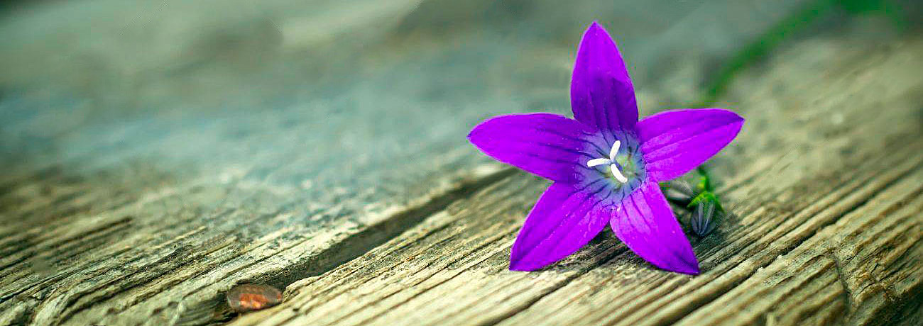 Blue bell-flowers on wooden background